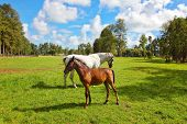 White horse and her chestnut foal grazing on a green lawn. Pension for breeding purebred Arabian hor