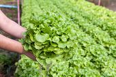 stock photo of hydroponics  - Organic hydroponic vegetable on hand in a garden