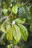 Coffe Leaves