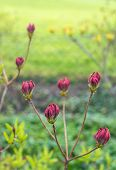 picture of molly  - Twigs with magenta colored buds of a Japanese Azalea or Rhododendron molle subsp. japonicum shrub in a park. ** Note: Shallow depth of field - JPG