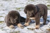 picture of tibetan  - Amazing puppies of Tibetan mastiff sitting in winter - JPG