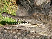 Fresh Water Croc poster