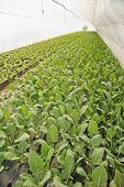foto of kohlrabi  - Greenhouse for vegetables and plant nursery - kohlrabi