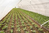 image of kohlrabi  - Greenhouse for vegetables and plant nursery - kohlrabi