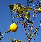 Lemon Growing on Tree with Blue Sky.