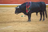 stock photo of bullfighting  - A bull in a typical Spanish bullfight Badajoz Spain - JPG