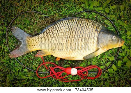 Catching fish. The Common Carp (Cyprinus Carpio).