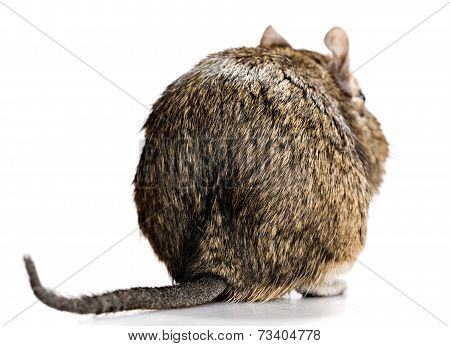 Degu Back View