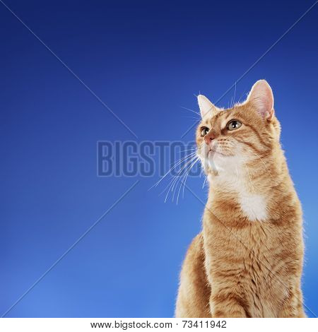 Senior (10 years) domestic ginger cat sitting in front of blue background. Copy space on the left side.