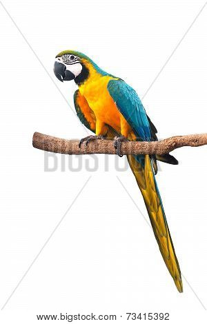 A beautiful bird Blue and Gold Macaw isolate on white background with clipping path.