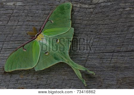 luna moth on wood