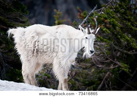 Mountain Goat In The Wild
