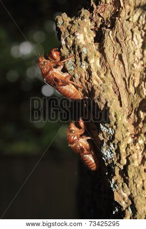 Cicada Shells Attached To A Tree Trunk