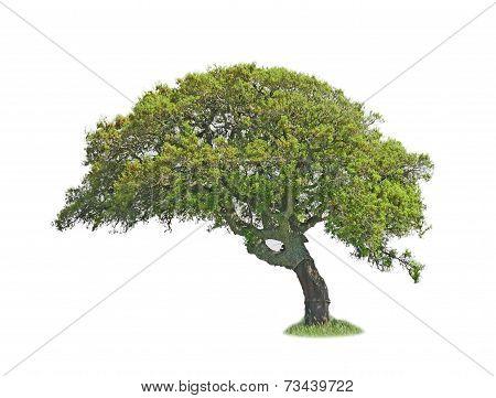Oak On White