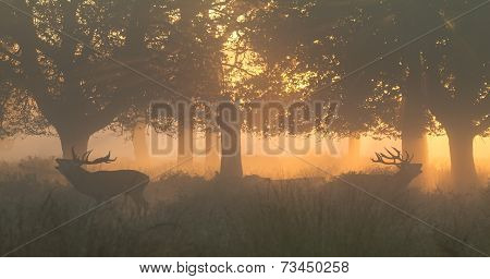 Red Deer Stags Bellowing