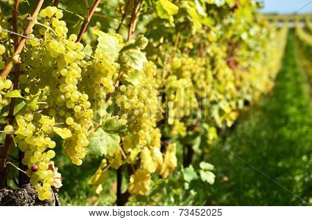 Grapes in Lavaux, Switzerland