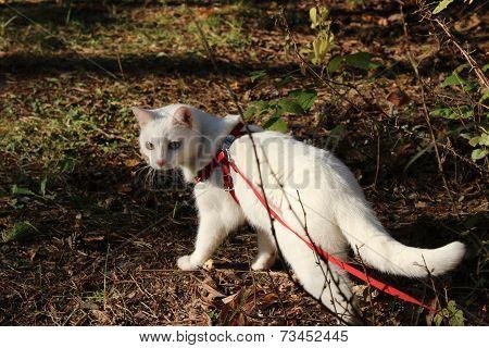 Domestic white cat