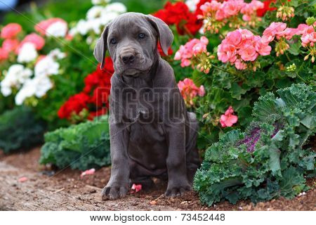 Cane Corso (Italian Mastiff) puppy sitting in flowerbed