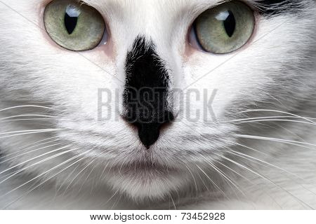 closeup portrait white cat with black nose