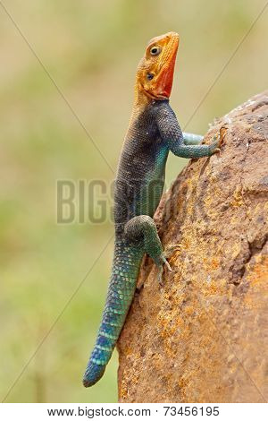 Male rainbow agama (Agama agama) in bright breeding colors, Amboseli National Park, Kenya