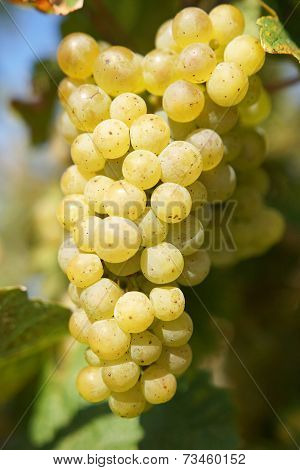 Grapes in the autumn