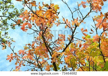 Looking up at the sky through colourful chestnut trees in autumn