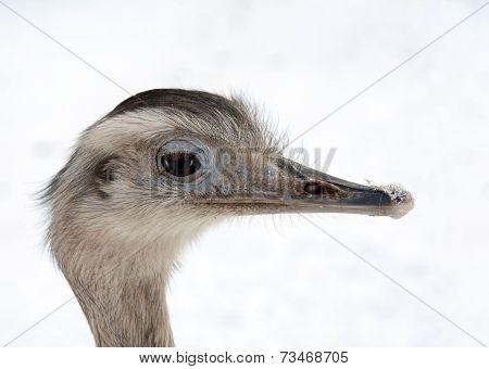 Greater Rhea portrait (Rhea americana)