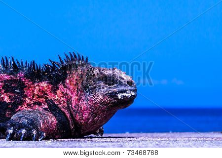 Sunburned Iguana