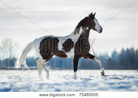 Beautiful horse trot in the snow in field in winter background