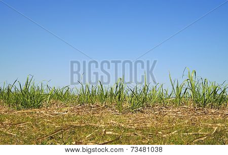 Australian Skyline With Long Green Grass Sugarcane Foliage
