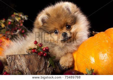 orange pomeranian puppy spitz