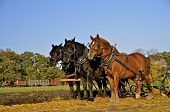 foto of horse plowing  - A team of three horses are pulling a plow as wheat stubble is being turned over - JPG