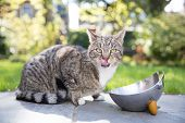 foto of licking  - Tabby cat licking its lips as it crouches next to a stainless steel bowl on paving in the garden looking alertly at the camera - JPG