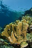 stock photo of fire coral  - brown fire coral in a tropical sea - JPG