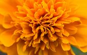 picture of marigold  - Detail of the flower of marigolds  - JPG