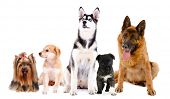 stock photo of sheep-dog  - Collage of cute dogs isolated on white - JPG
