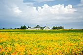 picture of soybeans  - A field of soybeans turning yellow, at the end of summer, on a farm, with white buildings, and cloudy sky. ** Note: Visible grain at 100%, best at smaller sizes - JPG