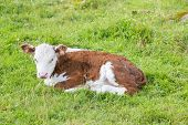 picture of calves  - photo of bull - JPG