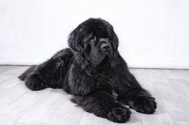 stock photo of newfoundland puppy  - adult Newfoundland in studio by the fireplace - JPG