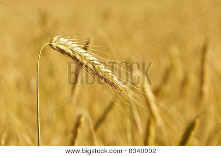 Golden Ear Against Wheat Field