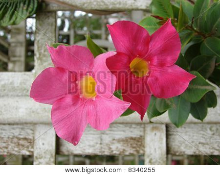 rose dipladena flower
