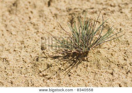 Touceira de capim do deserto