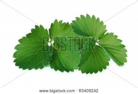 Strawberry Green Leave Isolated On White