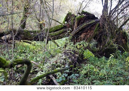 Break Old Tree In Forest