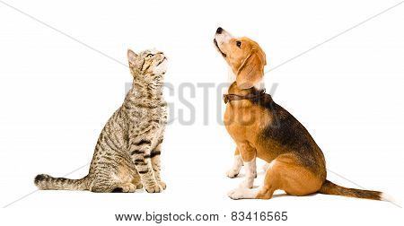 Cat Scottish Straight and beagle dog sitting together