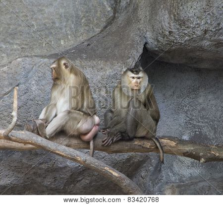 A couple of pig-tailed macaques