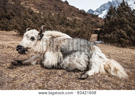 Yak And Mountains