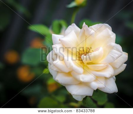 Rose. Floral Background