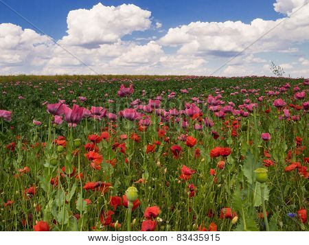 Field Of Red And Pink Poppies