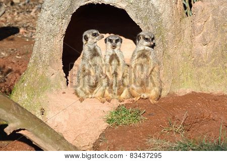 three suricate